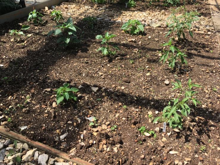 Chilli plant bed